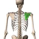背中,肩甲骨,引き締め,運動,大阪